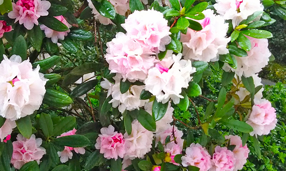 竹屋敷の庭園に咲き誇る「しゃくなげ」